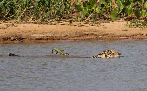 The jaguar slipped into the water and swam across to the sandbar, where a roughly 120-pound caiman was basking in the sun, facing away from the water and the approaching predator, Donahue said.