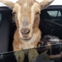 Belfast police find lost goats