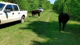 'Another day, another cow(s)': Police in Georgia find cows on shooting range