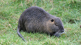 California officials ask for public's help against nutria