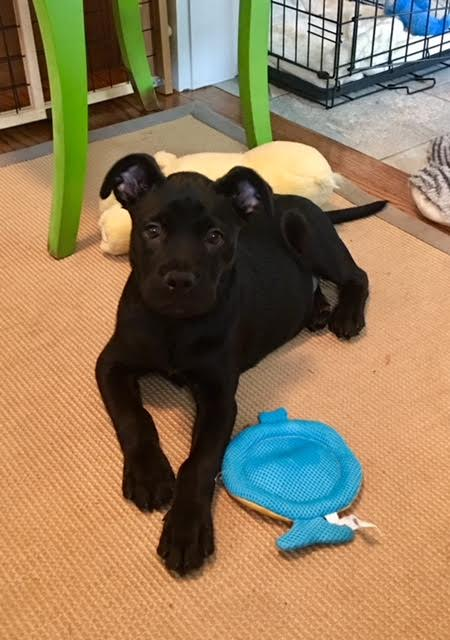Faye is a 9-week-old, 12-pound Black Labrador mix who was evacuated before the storm from{ }Florence, South Carolina. If you are interested in adopting Faye, you can meet him Sunday (September 16) from 12-2 pm at the Kentlands PetSmart in Gaithersburg, MD. (Image: Courtesy Lucky Dog Animal Rescue){ }