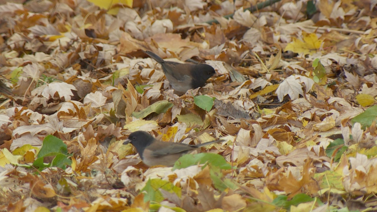 Oregon juncos are a frequent backyard visitor and like to scrounge for seeds on the ground. (KATU)<p></p>
