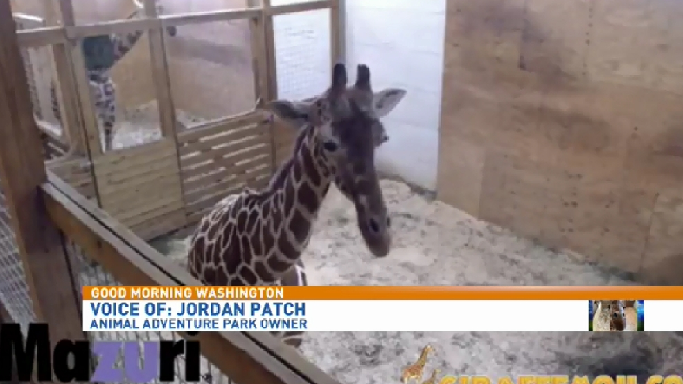Expecting calf of April the Giraffe | WJLA