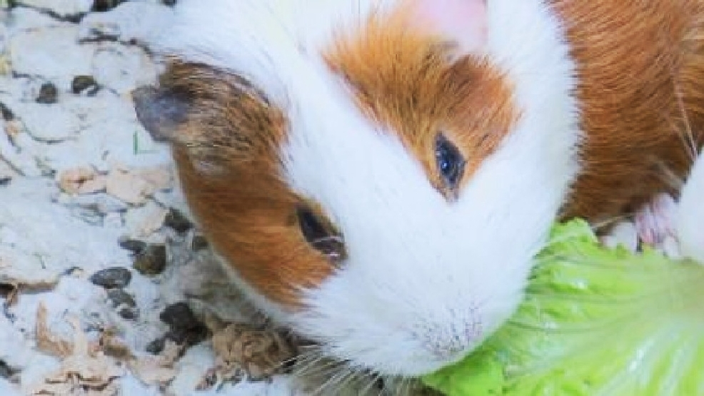 over 100 guinea pigs up for adoption after couple dumps them in