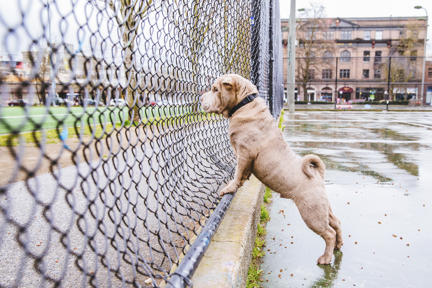 LOOK AT THIS WRINKLE BUTT! Filson is a seven-month-old Shar Pei and is a PNW native and is named after Seattle's very own Filson. Filson enjoys napping throughout the day and will occasionally wake up to chase little dusts falling from a near shelf. He is the loudest snorer in the house and will event sometimes wake up his own self. Filson likes to hang out at Magnuson park on the weekends and play tag with all his friends. Filson likes running through the tall grass, napping and playing with Great Danes. He dislikes baths, obedience class and walking on metal grates. You can follow Filson's journey through life on instagram @filson.yosen.{ }The Seattle RUFFined Spotlight is a weekly profile of local pets living and loving life in the PNW. If you or someone you know has a pet you'd like featured, email us at hello@seattlerefined.com or tag #SeattleRUFFined and your furbaby could be the next spotlighted! (Image: Sunita Martini / Seattle Refined).