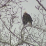 Eagle hanging out at a De Pere boat landing