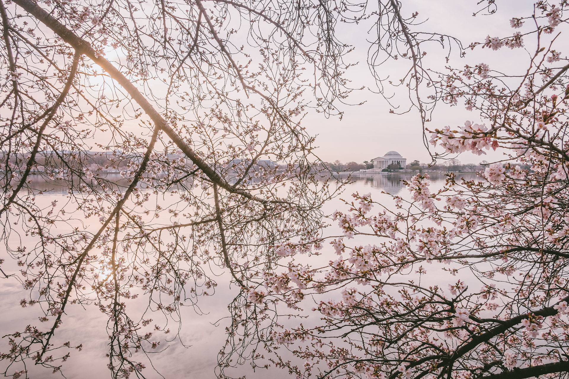 Beyond the Blossom Wall – Cherry blossoms frame the Jefferson Memorial{&amp;nbsp;}(Image: Zack Lewkowicz)<p></p>