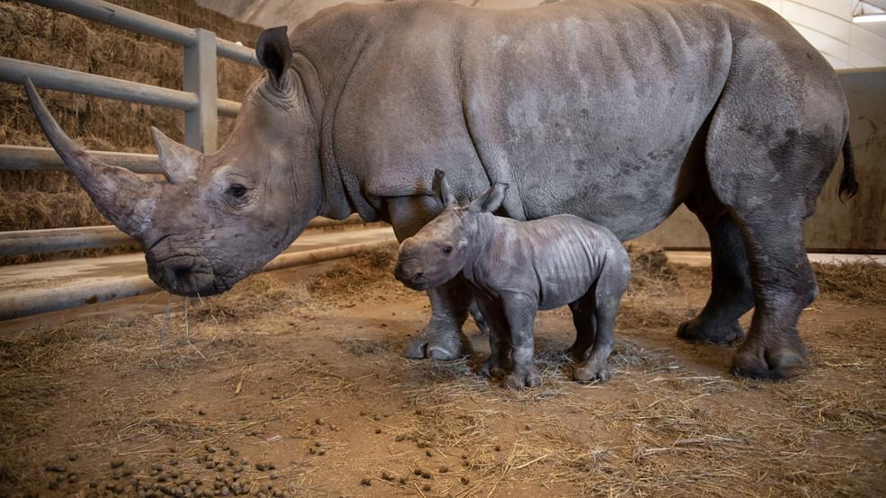 The Wilds celebrates birth of white rhino calf   WWHO
