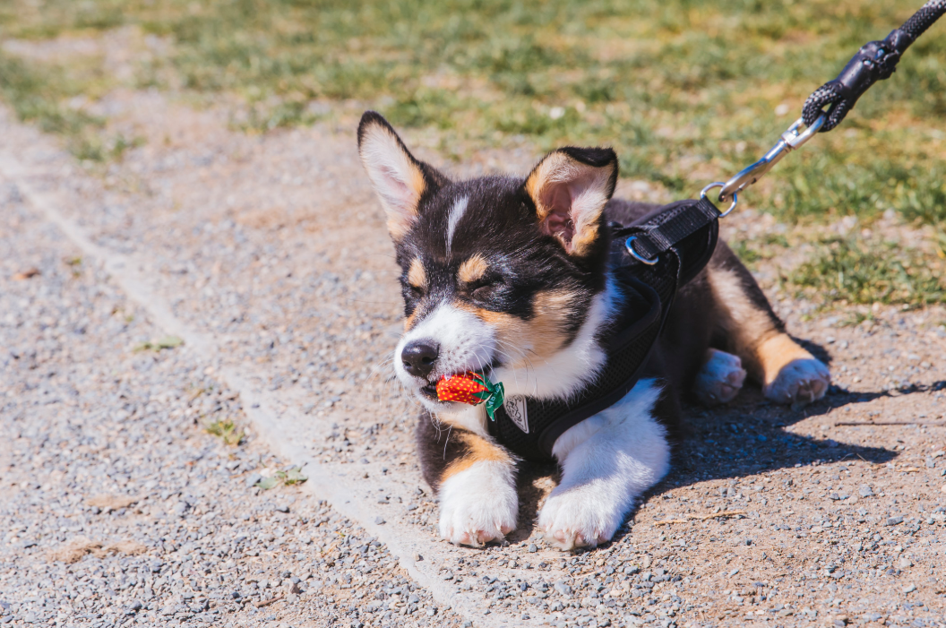 This is Bandit aka Lil Bandito the Pembroke Welsh Corgi. This five-month-old gorgeous pup is absolutely swoon-worthy. Born on a horse ranch in Bellingham, WA., Bandit recently moved from Seattle to Portland with his humans. He may have short legs but his will is strong. He likes people stopping to adore him on walks, peanut butter in Kongs, air conditioning blasting him on the face, hiding in tall grass/shrubbery, generally creating mischief, and cold floors to sploot on. He dislikes people not stopping to adore him on walks, vacuums and brooms. You can follow Bandit's journey through life on instagram, @elchiquitobandito. The Seattle RUFFined Spotlight is a weekly profile of local pets living and loving life in the PNW. If you or someone you know has a pet you'd like featured, email us at hello@seattlerefined.com or tag #SeattleRUFFined and your furbaby could be the next spotlighted! (Image: Sunita Martini / Seattle Refined).