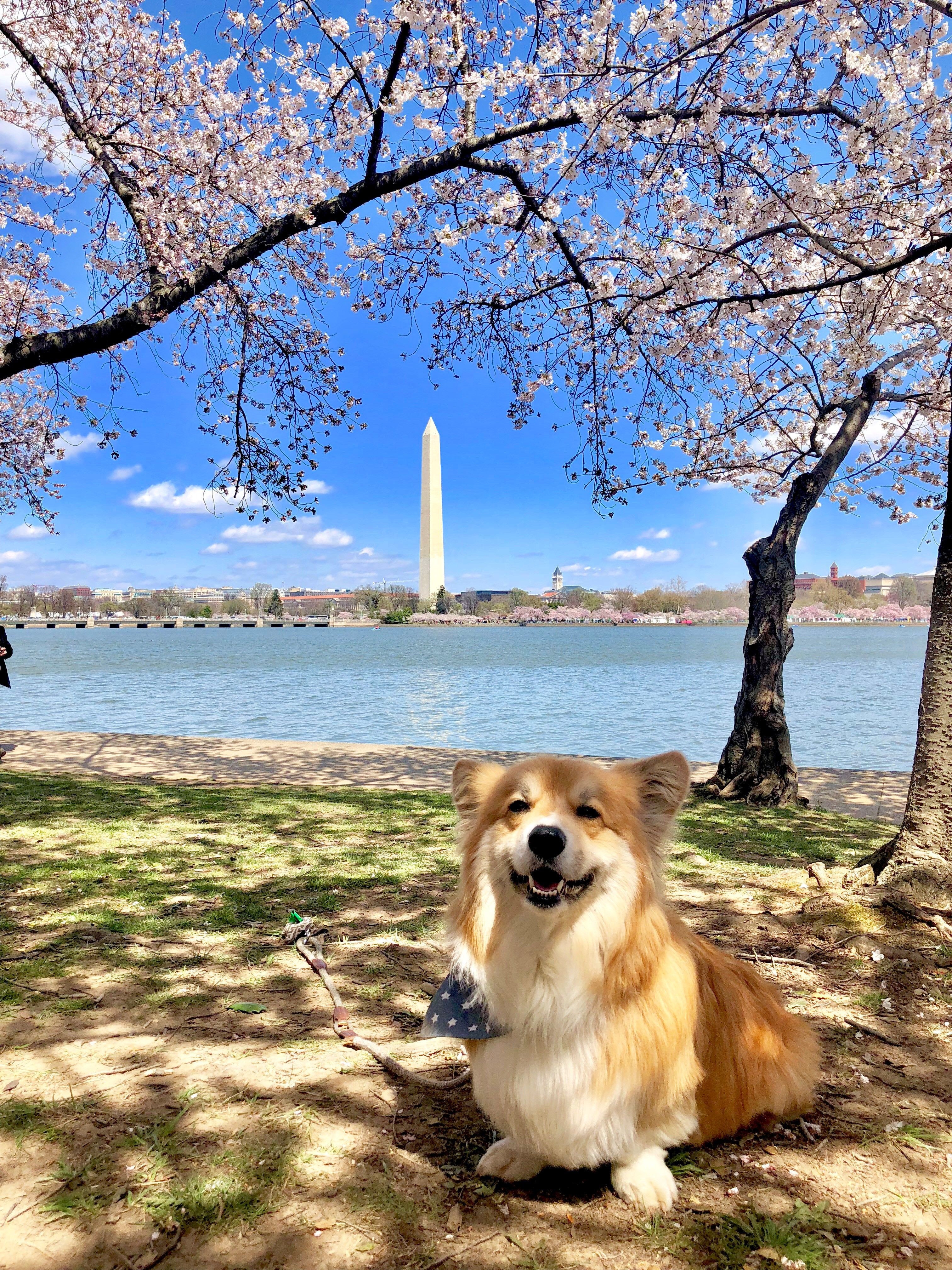 In honor of National Pet Day (which is basically like Christmas around here!) we checked in on a few of our favorite Instagram stars to see what they've been up to lately, and we noticed many of them had paid a visit to D.C.'s beloved blossoms. So for this week's special RUFFined Spotlight, we give you some adorable four-legged admirers of the cherry blossoms! (Image: via IG user @moogle_the_fluffy_corgi /{ }instagram.com/moogle_the_fluffy_corgi/){ }