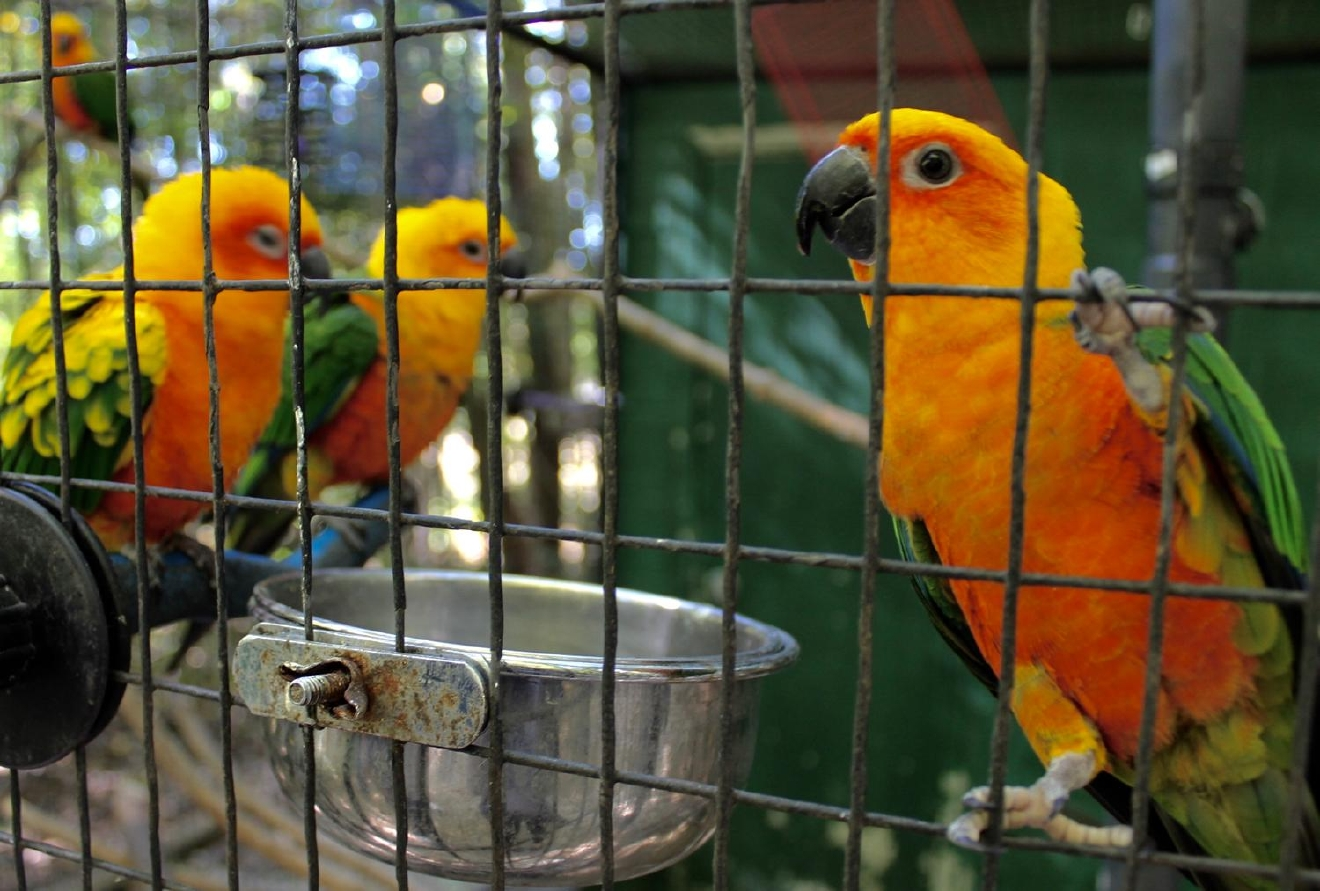 While their mimicking might not be as good as parrots, the Sun Conure is capable of mimicking humans. / Image: Rose Brewington