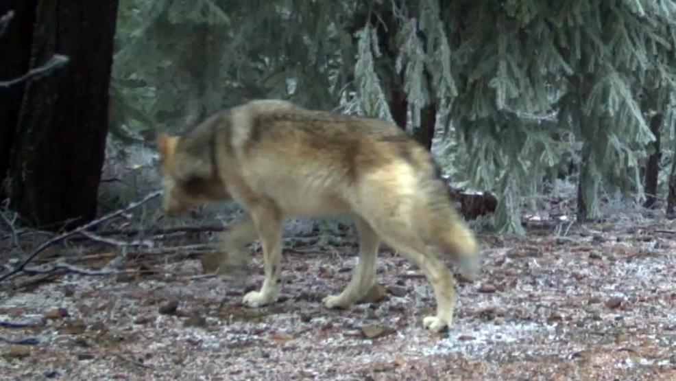 Wolves Captured By Trail Cam Near Mount Hood Spark