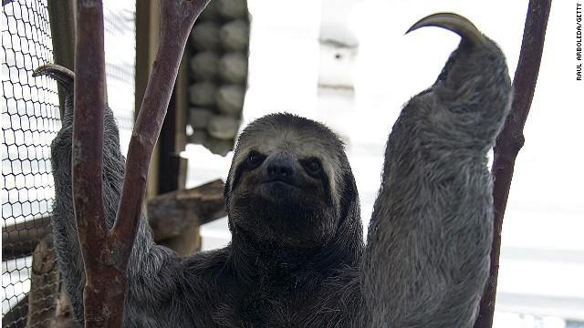 The three-toed sloth can be found lounging around in Central and South America.