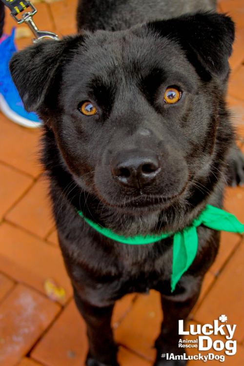 Meet Douglas! This handsome and fun boy is a 1 year-old Lab mix, weighing in at approximately 45 pounds. Douglas is a Hurricane Harvey survivor that is coming to DC to continue making room for his friends in Texas. He is looking for a forever family to give him the love and attention he deserves after all that he has been through! Could it be yours?{ } If interested in adopting, contact Lucky Dog Animal Rescue (Lucky Dog Animal Rescue)