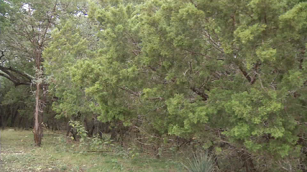 Mountain Cedar Season Is Almost Here Here S How To Fight