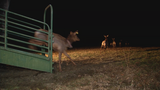 WV Wildlife:  New Elk brought in from Arizona recently