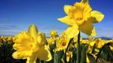 Photos: Daffodils come out to welcome spring in the Northwest