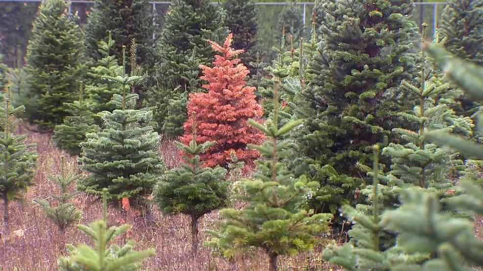 Oregon Christmas Trees.Ongoing Drought Leads To Concerns For Christmas Trees Across