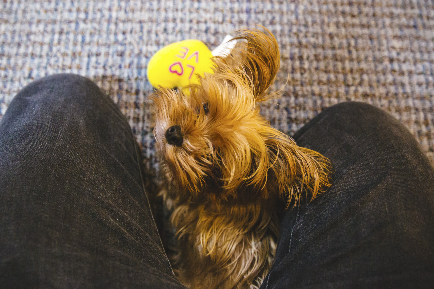 Meet Tico! Tico is short for Tiffany & Co., how cute is that. The Teacup Yorki is four years old and is the resident guard dog at Seattle Gold Grills but is currently on long vacation, exploring the city of Seattle and watching Netflix all. day. long. Tico likes $94 steaks, chicken, and company. She dislikes when her owners eat chicken and they don't give her any!{ }The Seattle RUFFined Spotlight is a weekly profile of local pets living and loving life in the PNW. If you or someone you know has a pet you'd like featured, email us at hello@seattlerefined.com or tag #SeattleRUFFined and your furbaby could be the next spotlighted! (Image: Sunita Martini / Seattle Refined).{ }