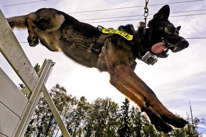 Ajax, a German shepherd military working dog, leaps over a hurdle during a training session on Joint Base Elmendorf-Richardson, Alaska. The 673d Air Base Wing Security Forces Squadron responds to law enforcement emergencies and overseas deployments.