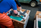 Thunder the olive ridley turtle being loaded in transport crate - Credit Oregon Coast Aquarium.jpg