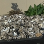 Recycled oyster shells open up area to new potential for growth