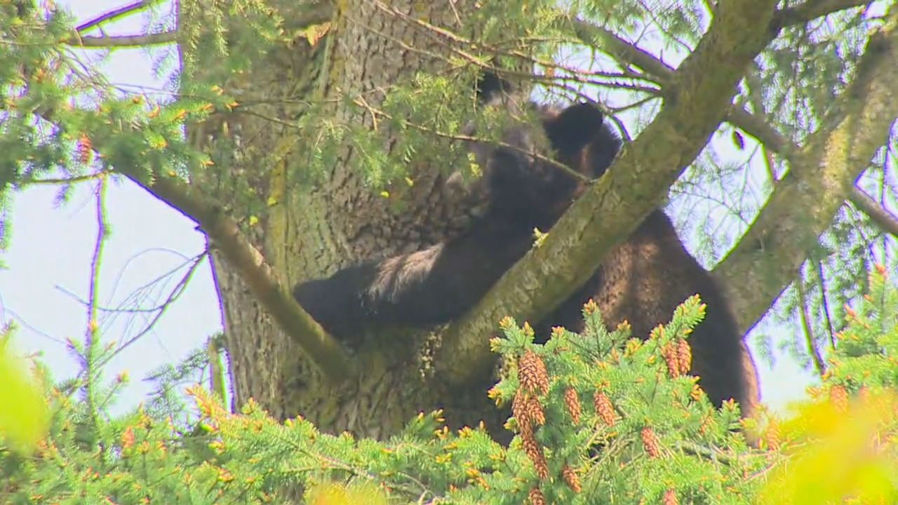 A bear is stuck high atop a tree in Renton. (Photo: KOMO News)
