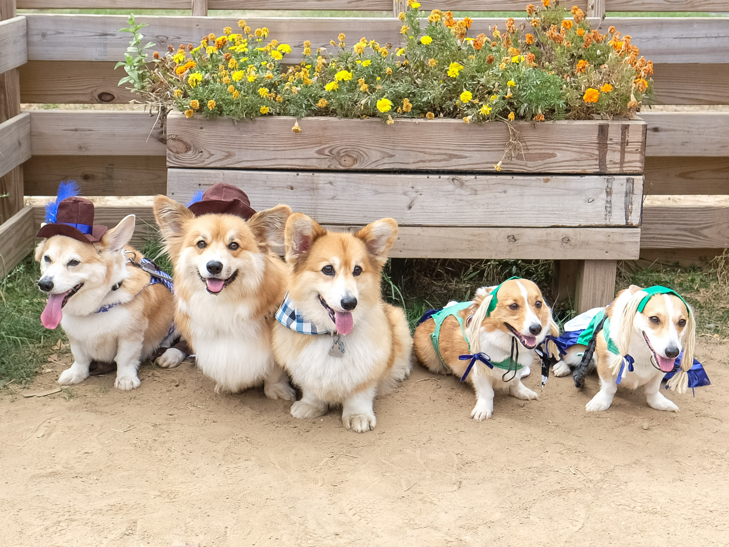 "There are few things in life we love more than a bunch of dogs all in one place that we can go nutty over! So naturally, Derpin' in DC: Corgtoberfest was right up our alley! Hundreds of stumpy-legged fluff monsters and their humans descended on Tysons Biergarten for the fourth annual Corgi meetup, though it was an all-inclusive event with many other breeds making an appearance as well. There was a costume contest for the dogs and stein-drinking competitions for their two-legged counterparts, followed by several heats of corgi races. Boy can those stumpy little furballs run! You may see some familiar faces as several ""insta stars"" were present, including Navy, Moogle, Waffles, Jasper and Biscuit. Plus, our friends from We The Dogs DC were repping! (Image: Courtesy IG user @wallythewelshcorgi)"