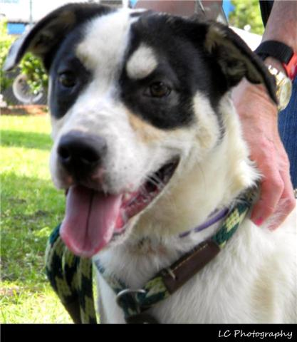 <p>   This is Ella a young (about 4 months old), female, St. Bernard mix. She's been at the shelter since FEBRUARY 2013 when her former owner gave her up because they were moving. She's a very sweet girl with a great personality. </p>