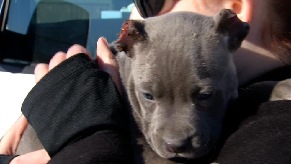 Zeus the puppy, whose ears were chopped off in a video posted to Facebook (WSYX/WTTE)