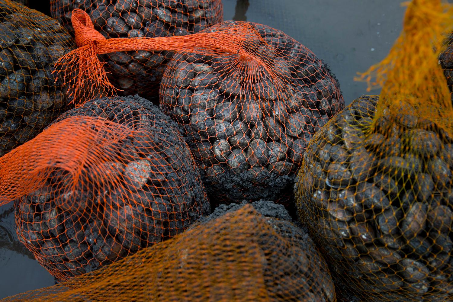 Hundreds of Manila clams are bagged and ready to be sold after being harvested in Samish Bay. (Sy Bean / Seattle Refined)