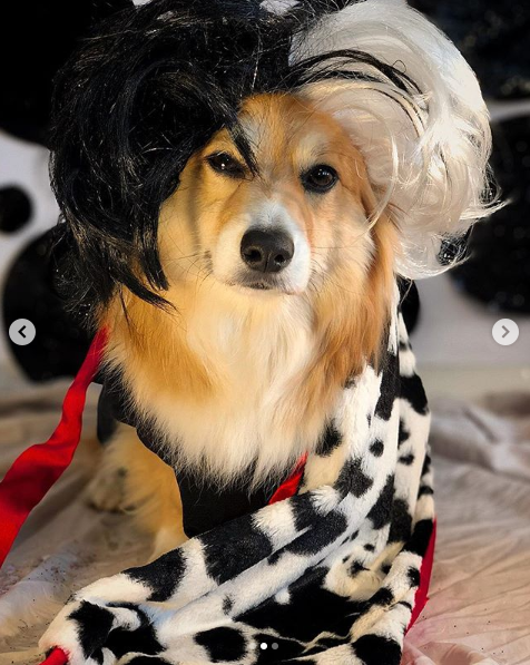 It's faux fur only for this Corgella de Vil! (Image: via IG user @dcgus)