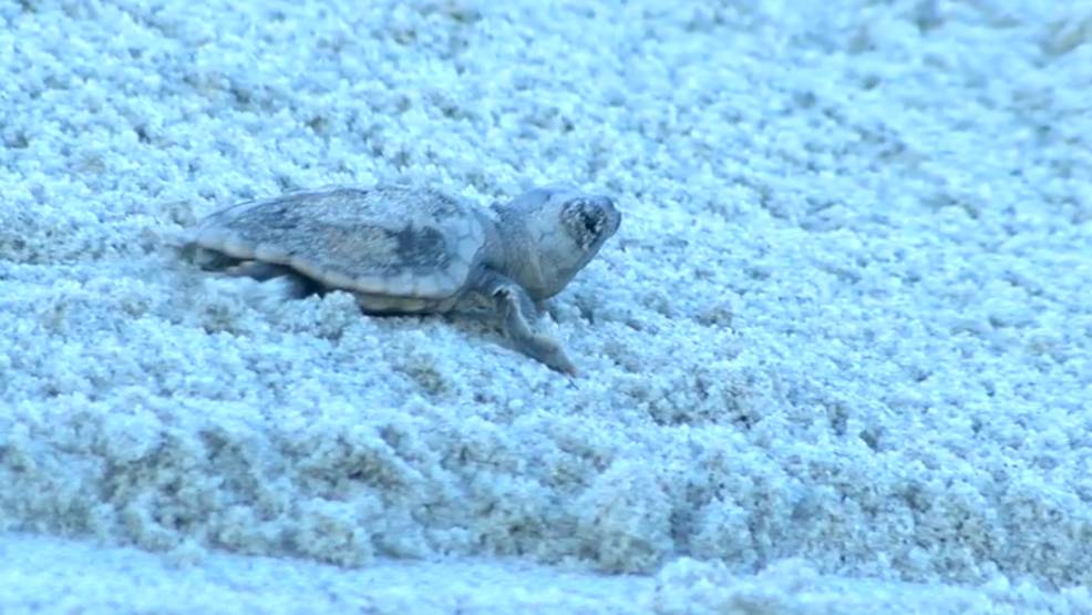 Hundreds of sea turtles eggs hatch in North Myrtle Beach | KECI