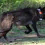 Who killed wolf OR-28? Reward now stands at $20,000