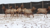 DNR: Elk translocation efforts continue