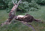 June 9 Trees uprooted n broke branches at apt complex Sturgis Darla Beebe.jpg