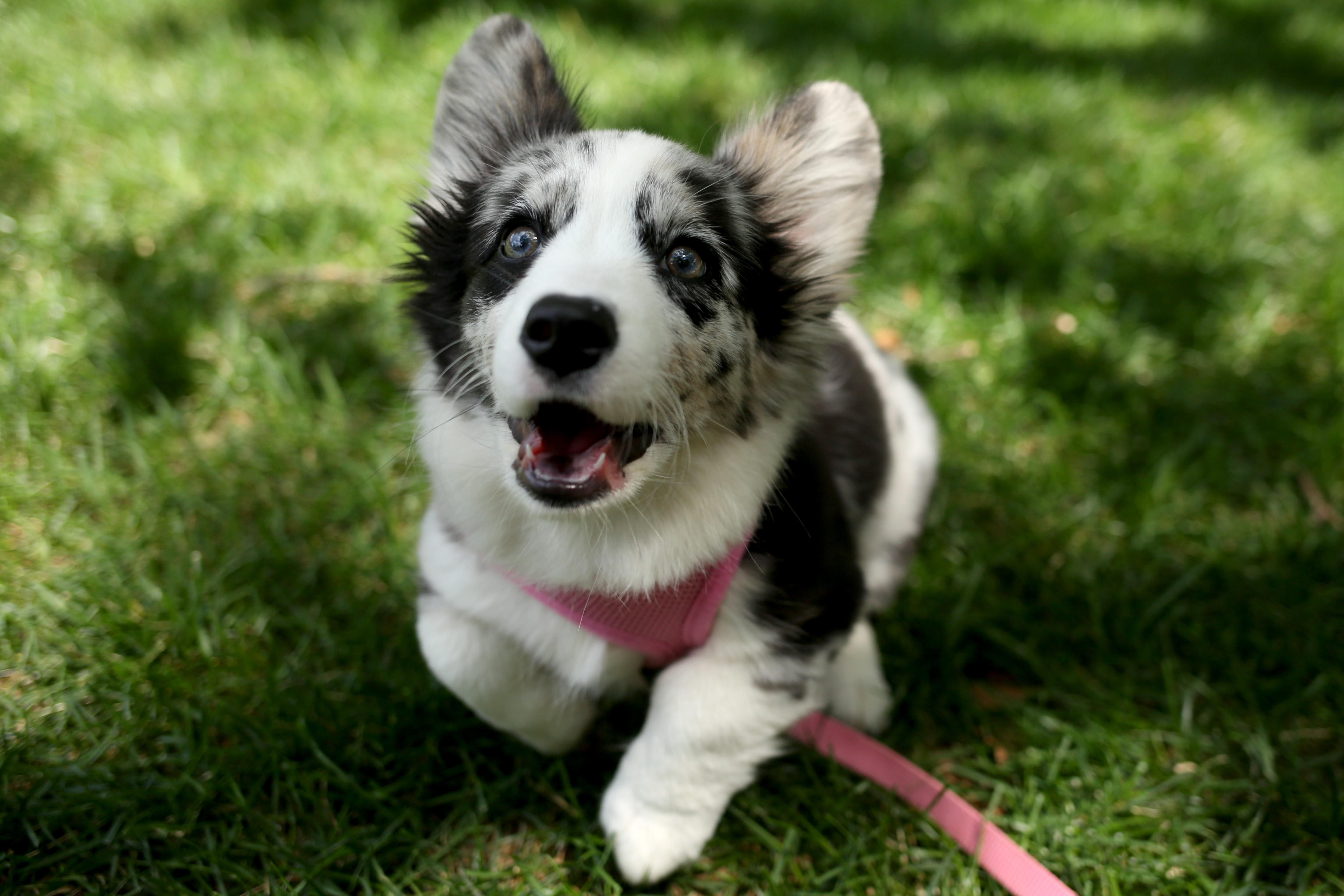 Navy looks a little different from the other corgis because she's a Blue Merle Cardigan. You can see her at @navycorgi (Amanda Andrade-Rhoades/DC Refined)