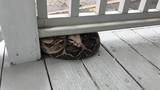 Boa constrictor reunited with owner