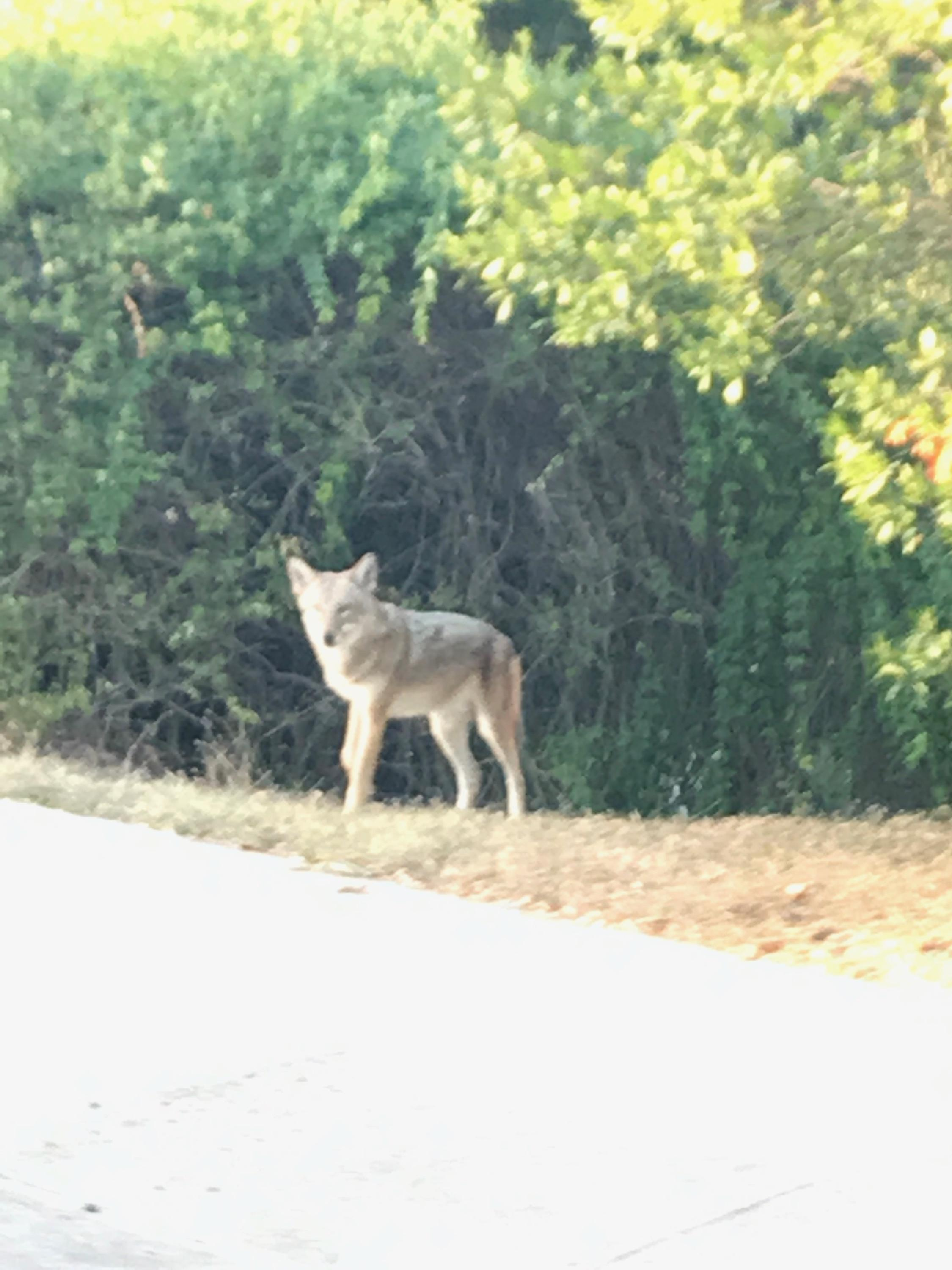 Neighbors in one Westlake community are scared after seeing coyotes more frequently. (Picture courtesy of J.J. Smith-Getman)
