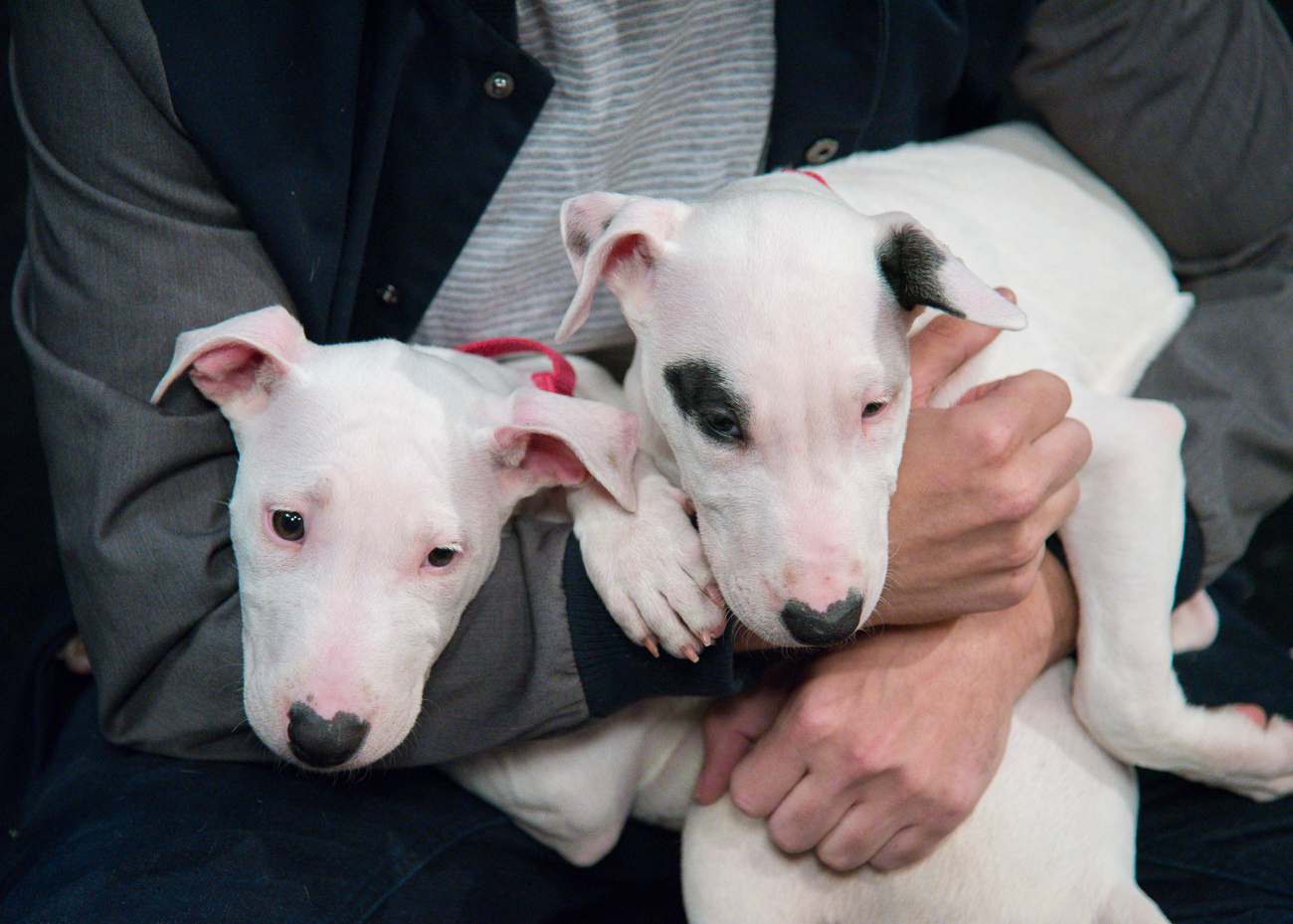 PICTURED: Ruby and Joy, 3-month-old bull terrier puppies / ABOUT: The Society for the Prevention of Cruelty to Animals (SPCA) is an organization that seeks out new, loving owners for adoptable, adorable dogs and cats. While the pets in these photos are likely already adopted by the time this is published, you can find other dogs and cats like them by visiting SPCAcincinnati.org. The organization receives new animals often; Local 12 WKRC-TV features several of those pets every Tuesday on their morning and evening broadcasts and every Saturday during the morning broadcast. / Image: Phil Armstrong, Cincinnati Refined // Published: 10.24.18