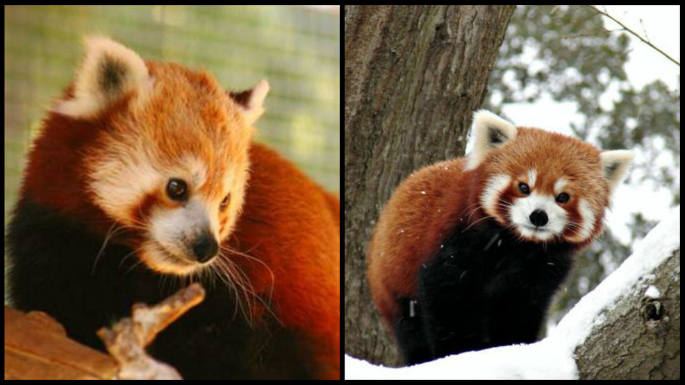 Two headed panda