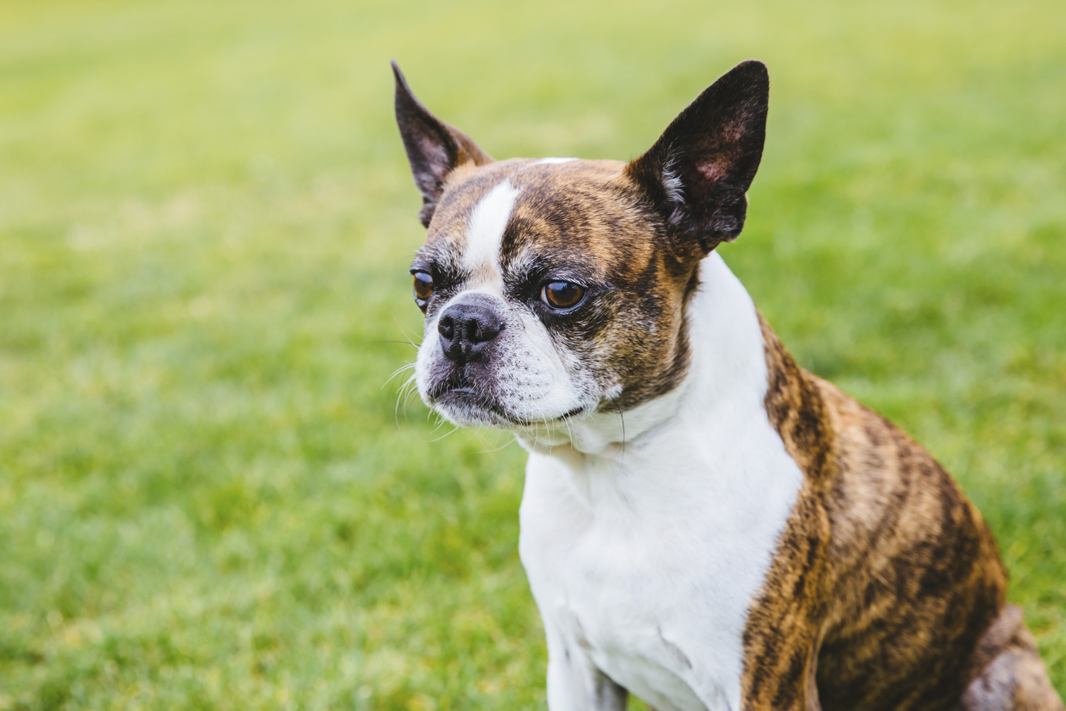 boston terrier kennel
