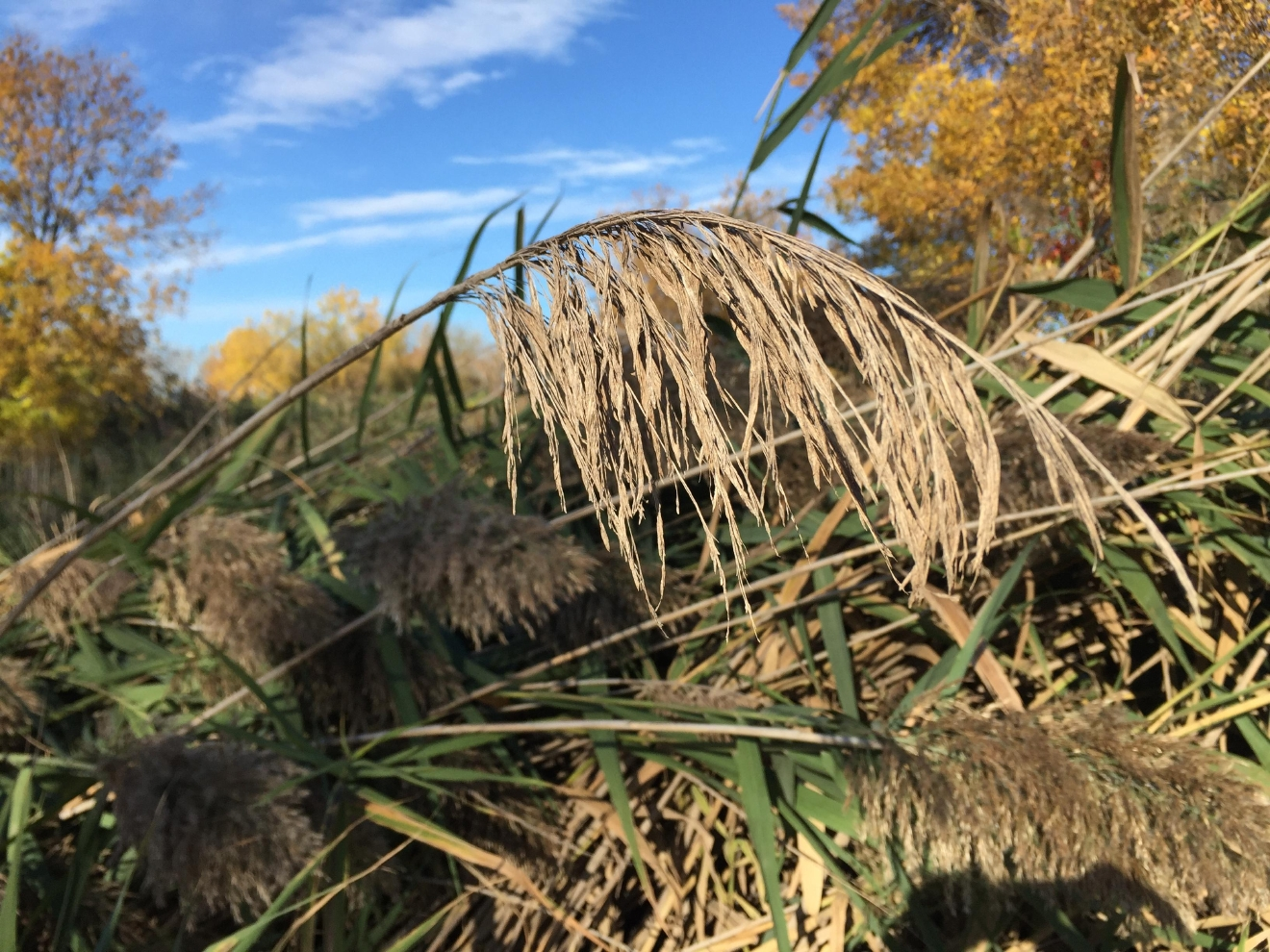 Phragmites grass at Ken Euers Nature Area in Green Bay, October 20, 2016 (WLUK/Eric Peterson)