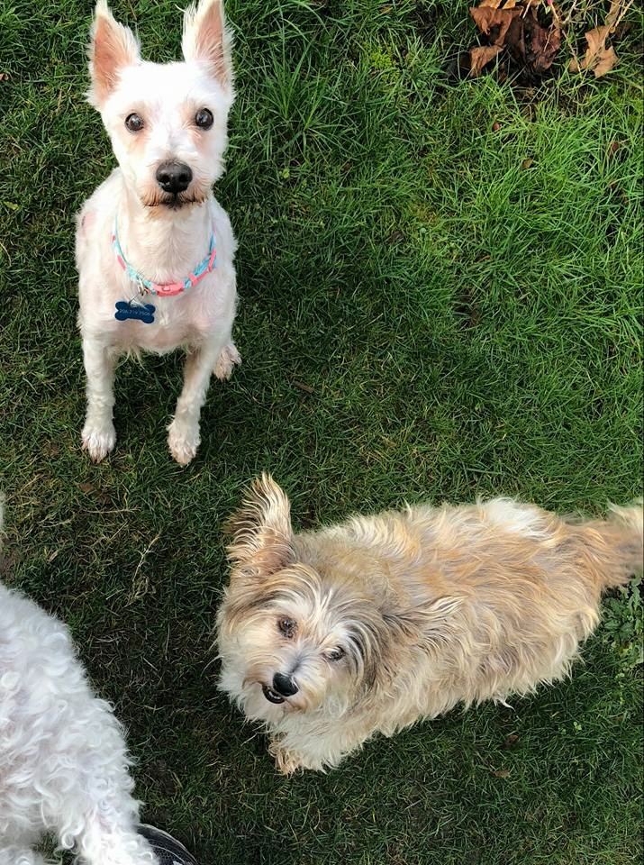 Oreo, 6 and Okie, 4, are a couple of cutie pie terriers who are looking to get adopted together because they absolutely adore each other and why would you want to separate a FAMILY.  (Image courtesy of Saving Great Animals).