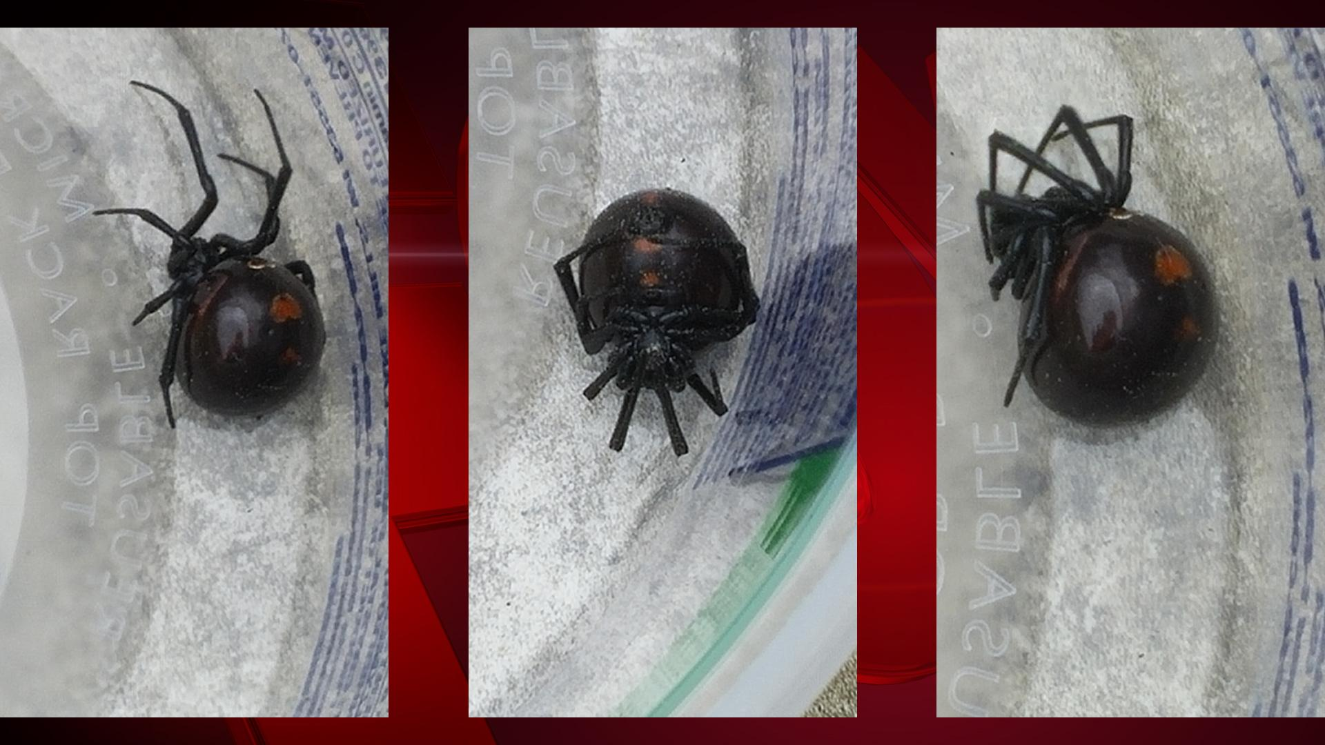 Shane Magle and his girlfriend, Stephanie Lardo, of New Franken, found a black widow spider on a red storage container outside their home, June 13, 2017. (Photos courtesy of Stephanie Lardo)