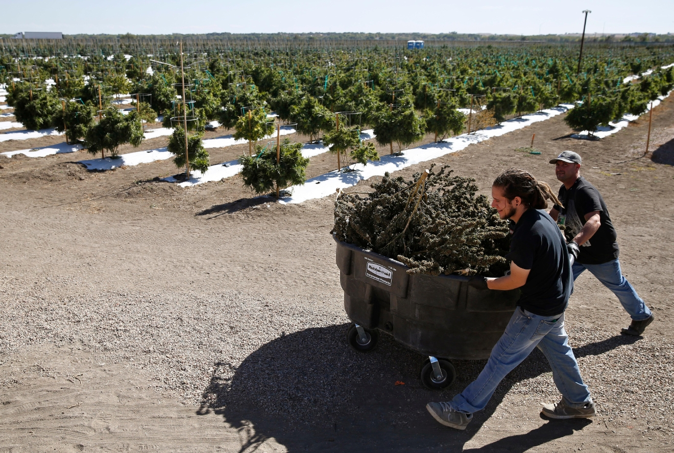 In this Oct. 4, 2016 photo, farmworkers transport newly-harvested marijuana plants, at Los Suenos Farms, America's largest legal open air marijuana farm, in Avondale, southern Colo. For the fall 2016 harvest, the farm's 36-acres are expected to yield 5 to 6 tons. (AP Photo/Brennan Linsley)
