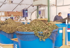 Oneida Nation, aquaponics