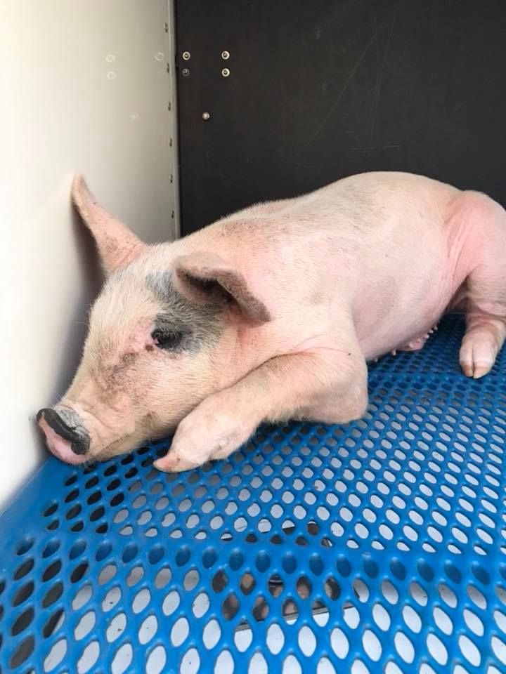 Caldwell Police helped wrangle three lose pigs near the Laster Lane / War Eagle are in Caldwell. The little pigs were later taken to the West Valley Humane Society. (Caldwell PD)