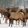 Man with drone causes 1,500 elk to stampede half a mile in Wyoming snow