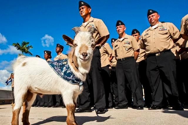 U.S. Navy Chief Petty Officer selectees stand in formation next to Charlie, a goat representing an organization of chief petty officers in Pearl Harbor, Hawaii, Aug. 6, 2013.